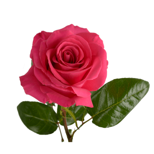Роза Pink Floyd, крупный бутон, 90 см
