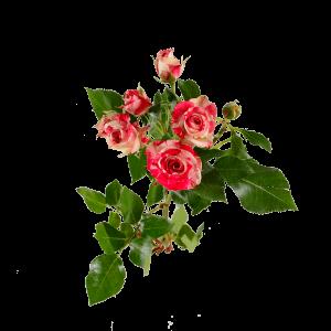 Роза кустовая бело-красная 70 см