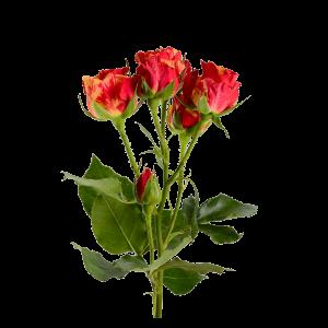 Роза кустовая 70 см (красно-оранжевая)