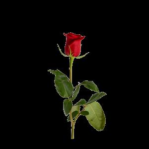 Роза красная 80 см (Эквадор)