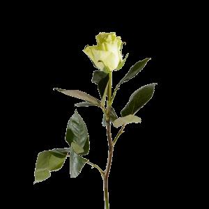 Роза Голландская белая 80 см