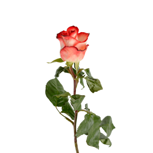 Роза Голландская 80 см