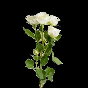 Роза кустовая белая 70 см