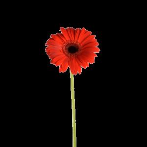 Гербера голландская красная