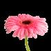 Гербера голландская розовая