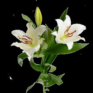 Лилия голландская белая (3 бутона)
