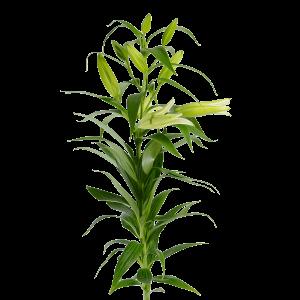 Лилия голландская белая (7 бутонов)