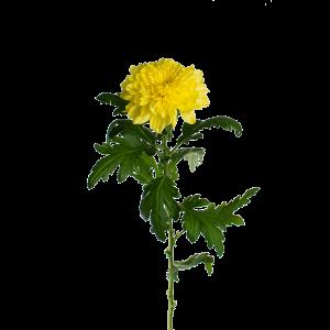 """Хризантема желтая однобутонная """"Зембла"""""""