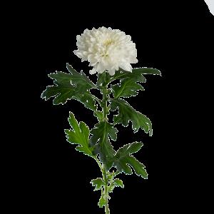 """Хризантема белая однобутонная """"Зембла"""""""
