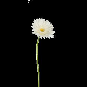 Гербера голландская белая