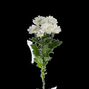 """Хризантема голландская кустовая белая """"Зембла"""""""