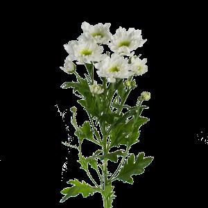 Хризантема голландская бело-зеленая