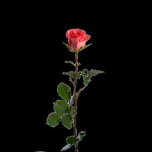 """Роза голландская """"вуду"""" 70 см"""