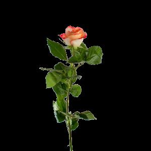 Роза цветная 80 см (Эквадор)