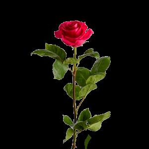 Роза розовая 90 см