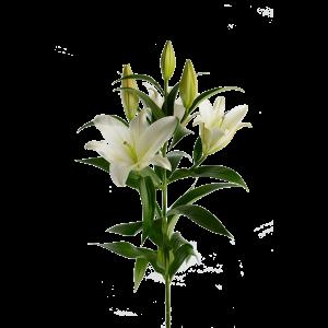 Лилия белая 7 бутонов
